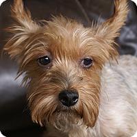 Adopt A Pet :: Maxy - Spring Valley, NY