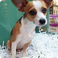 Adopt A Pet :: Scamper - Mt. Prospect, IL