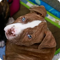 Adopt A Pet :: Hot Stuff - Kettering, OH