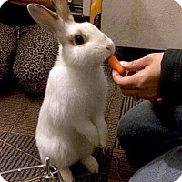 Dwarf Hotot Mix for adoption in Los Angeles, California - Ricky