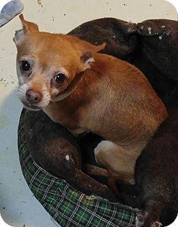 Chihuahua Dog for adoption in Matthews, North Carolina - Nibbles