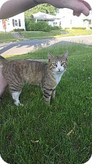 Domestic Shorthair Cat for adoption in South Bend, Indiana - Marley