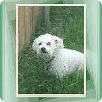 Bichon Frise Dog for adoption in Tulsa, Oklahoma - Adopted!!Buffy - WA