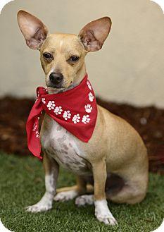 Chihuahua/Dachshund Mix Dog for adoption in Rancho Palos Verdes, California - LEONARDO