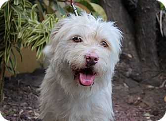 Wheaten Terrier Mix Dog for adoption in Los Angeles, California - Georgie