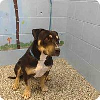 Rottweiler Mix Dog for adoption in San Bernardino, California - URGENT on 10/6 SAN BERNARDINO