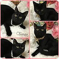 Domestic Shorthair Kitten for adoption in Joliet, Illinois - Freesia