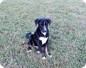 Labrador Retriever/Border Collie Mix Puppy for adoption in Aurora, Colorado - Cookie