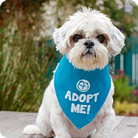 Shih Tzu Mix Dog for adoption in Pacific Grove, California - Buttons