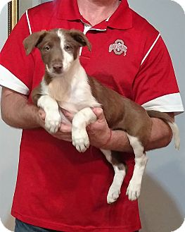 Border Collie/Australian Shepherd Mix Puppy for adoption in South Euclid, Ohio - Sophie