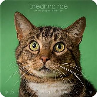 Domestic Shorthair Cat for adoption in Sheboygan, Wisconsin - Tippy