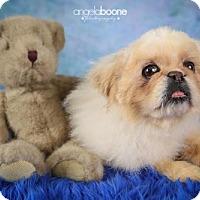 Adopt A Pet :: Bear(Pooh Bear) - Inver Grove, MN