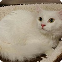 Maine Coon Kitten for adoption in Hockessin, Delaware - Trudy