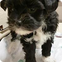 Adopt A Pet :: I'M ADPTDBaby New Years Kisses - Oswego, IL