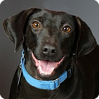 Labrador Retriever/Dachshund Mix Dog for adoption in Columbia, Illinois - Madame Zeroni