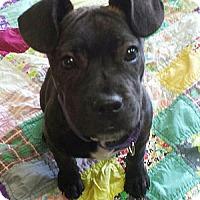 Adopt A Pet :: Capode - Akron, OH