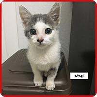 Adopt A Pet :: Noel - Miami, FL