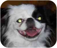 Japanese Chin Dog for adoption in Phoenix, Arizona - Karma