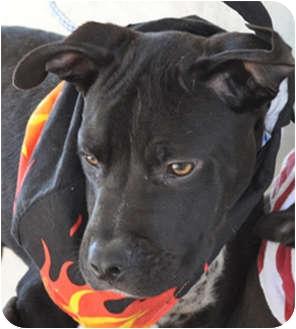 Puppy | 497520 | Aurora, CO | Boxer/German Shorthaired Pointer Mix
