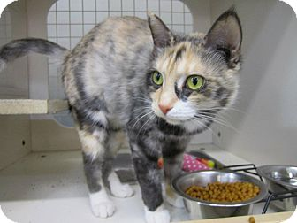Domestic Shorthair Cat for adoption in Chesapeake, Virginia - Sweet Pea
