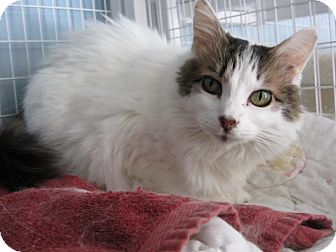 Domestic Mediumhair Cat for adoption in Kingston, Washington - Alexis