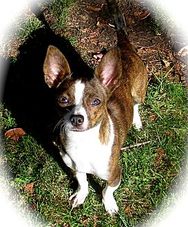 Chihuahua Dog for adoption in El Cajon, California - Minnie
