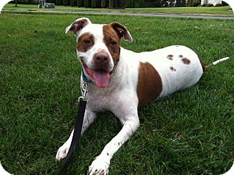 Pointer/American Staffordshire Terrier Mix Dog for adption in Voorhees ...