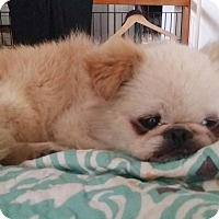 Adopt A Pet :: BENGI - SO CALIF, CA