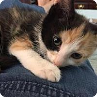 Adopt A Pet :: FIONA aka AMBER - Hamilton, NJ