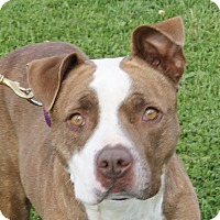 Boxer/Pit Bull Terrier Mix Dog for adoption in Monroe, Michigan - Kamalli