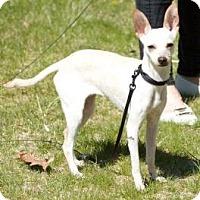 Adopt A Pet :: Cleo - Croton, NY