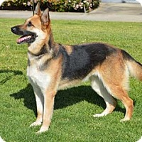German Shepherd Dog Dog for adoption in Mira Loma, California - Ellie
