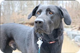 Labrador Retriever Mix Dog for adoption in Alexandria, Virginia - Buddy
