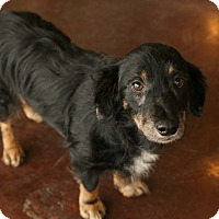 Adopt A Pet :: Dusty - San Antonio, TX
