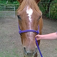 Quarterhorse Mix for adoption in Hitchcock, Texas - Rusty Red