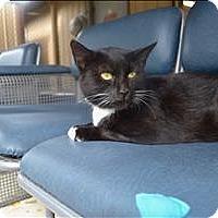 Domestic Shorthair Cat for adoption in Delaware, Ohio - Misha