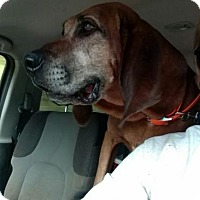 Redbone Coonhound Mix Dog for adoption in Bakersville, North Carolina - Moonshine