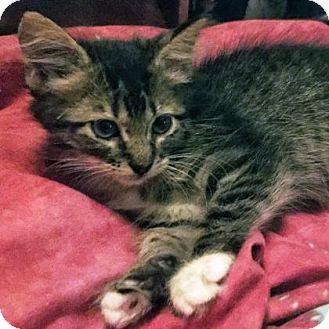 Domestic Shorthair Kitten for adoption in Austin, Texas - Kolleen