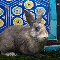 Harlequin for adoption in San Diego, California - Chester