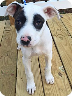 Cattle Dog Mix Puppy for adoption in CUMMING, Georgia - Basil