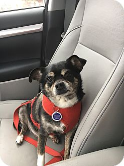 Chihuahua/Terrier (Unknown Type, Medium) Mix Dog for adoption in Beachwood, Ohio - Paco
