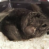 Adopt A Pet :: Cheshire - Vancouver, WA