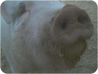 Pig (Potbellied) for adoption in Las Vegas, Nevada - Drusilla