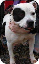 Pit Bull Terrier/Hound (Unknown Type) Mix Dog for adoption in Harriman, New York - Molly