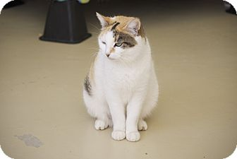 Calico Cat for adoption in Bensalem, Pennsylvania - Soni