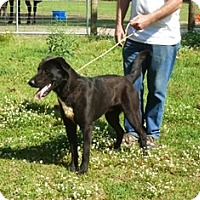 Labrador Retriever Mix Dog for adoption in Slidell, Louisiana - Buford