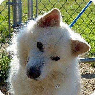 American Eskimo Dog Dog for adoption in Randallstown, Maryland - Frosty of Greenbelt, MD
