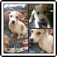 Adopt A Pet :: Stewie meet me 8/28 - East Hartford, CT
