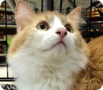 Domestic Mediumhair Cat for adoption in Tucson, Arizona - James