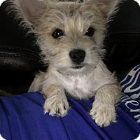 Adopt A Pet :: Charlie Tango pup3 - Houston, TX